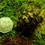 Leopard tortoise at Lakes Aquarium