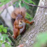 A cheeky red squirrel